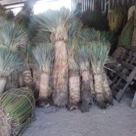 メキシコ輸入植物